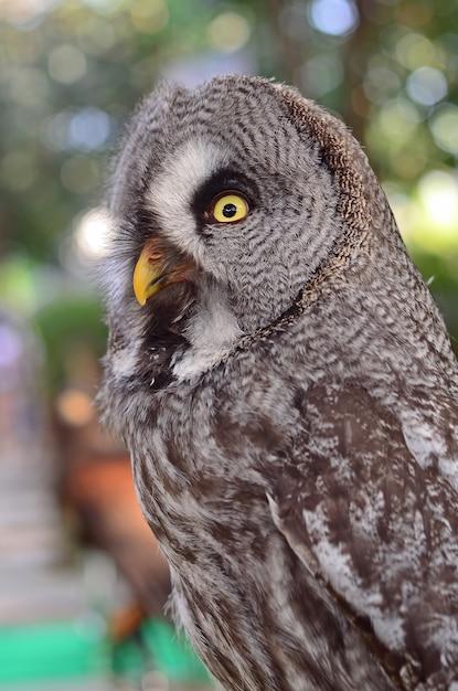 Große grey owl strix nebulosa beautiful birds of thailand Premium Fotos