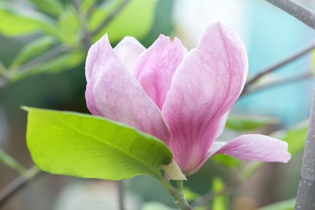Große schöne magnolie Premium Fotos
