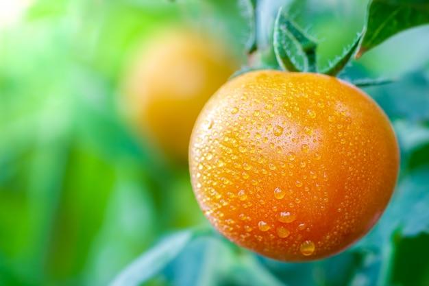 Große tomate und wassertropfen in biohöfen mit morgensonnenlicht Premium Fotos