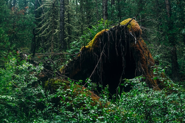 Große umgestürzte baumwurzel bedeckt mit dickem moos in der taiga-wildnis Premium Fotos