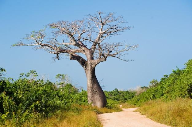 Großer baobabbaum nahe der straße die savanne Premium Fotos