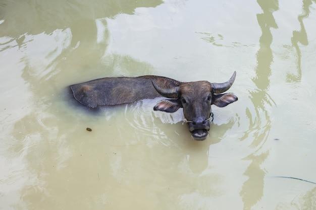 Großer büffel sind glückliches spielwasser im pool am sonnenscheintag und am heißen tag im sommer thailand. Premium Fotos