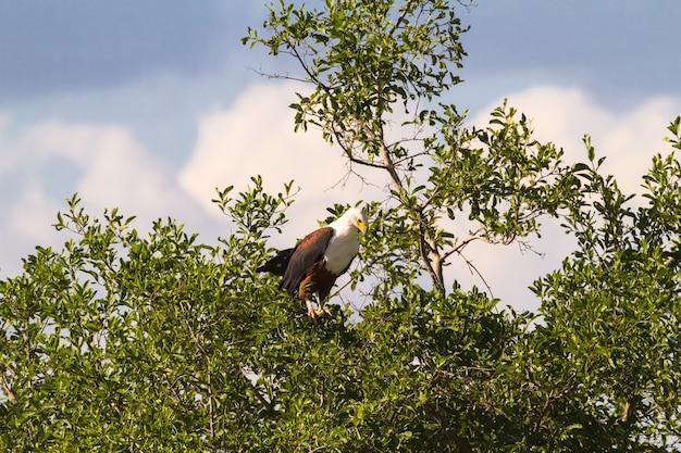 Großer fischadler auf einem baum. grumeri fluss, serengeti, tansania Premium Fotos