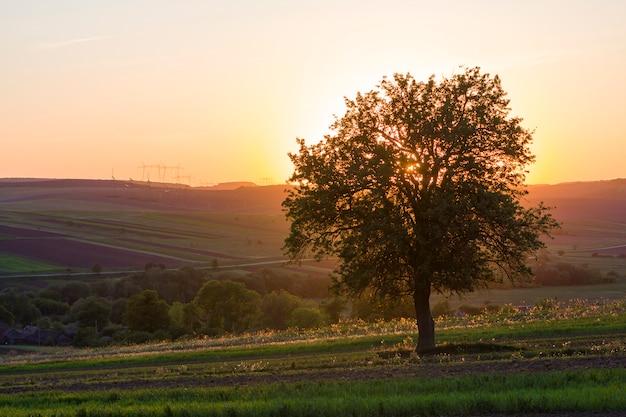 Großer grüner baum bei sonnenuntergang, der allein im frühlingsfeld wächst Premium Fotos