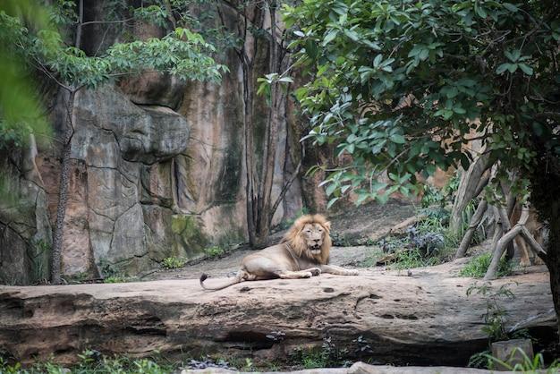 Großer löwe, der auf dem stein beim tagesstillstehen liegt. tiere konzept. Kostenlose Fotos