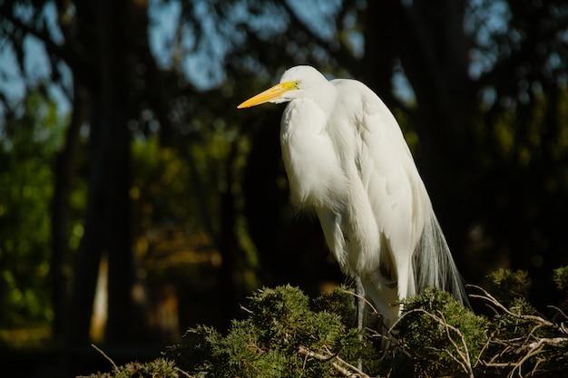 Großer männlicher weißer reiher, egretta alba, der im nest ruht und das ehe- oder balzgefieder zeigt. Premium Fotos