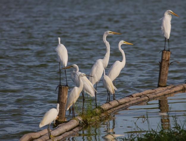 Großer reiher in der natur (ardea alba), abschluss herauf vogel in der natur thailand Premium Fotos