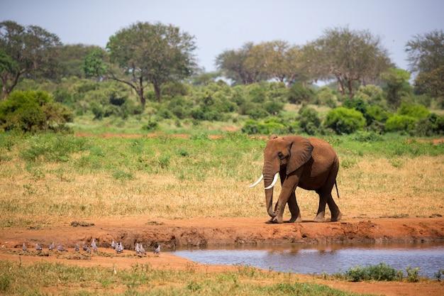 Großer roter elefant geht am ufer eines wasserlochs Premium Fotos