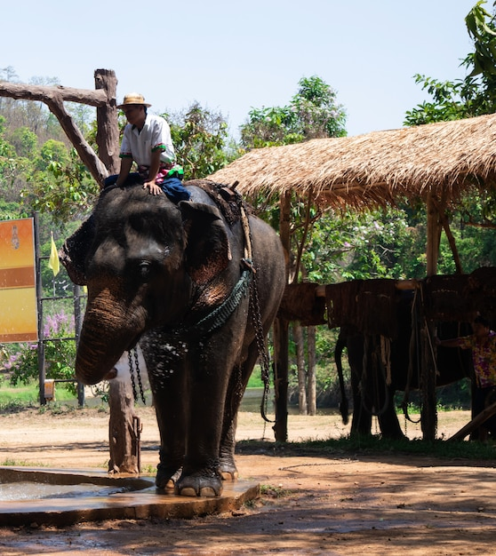 Großer thailändischer elefant im elefantenschutzzentrum Premium Fotos