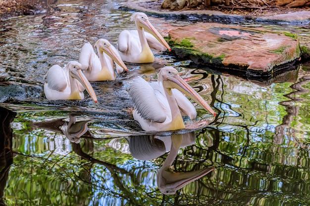 Großer weißer pelikan im teich Premium Fotos