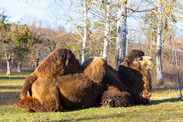 Großes bactrian kamel auf dem hintergrund der birke im herbstpark Premium Fotos