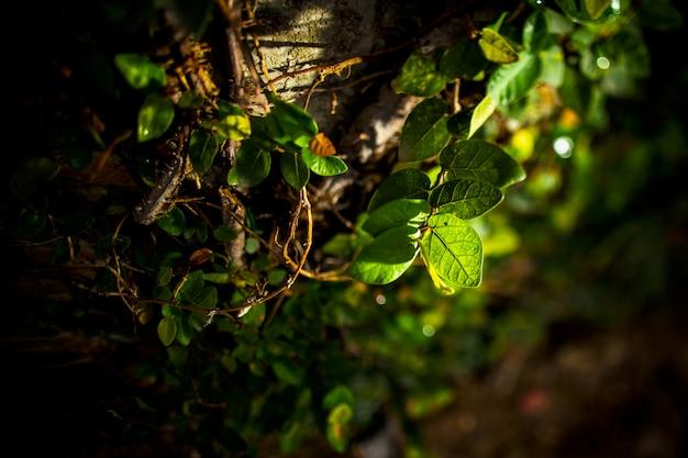 Grünblätter im abendsonnenlicht Premium Fotos