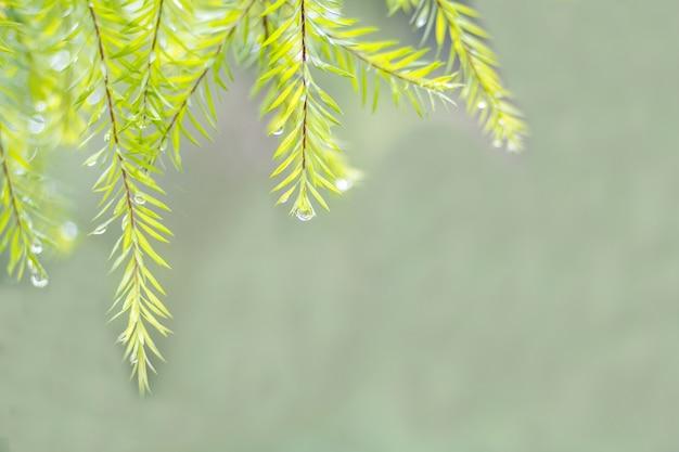 Grünblätter und regentropfen mit hintergrund des weichen lichtes Premium Fotos