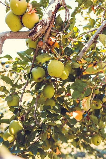 Grüne apfelfrüchte auf baum schließen oben Kostenlose Fotos