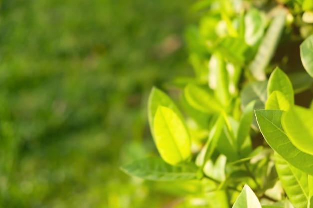 Grüne blätter sind der hintergrund. Premium Fotos