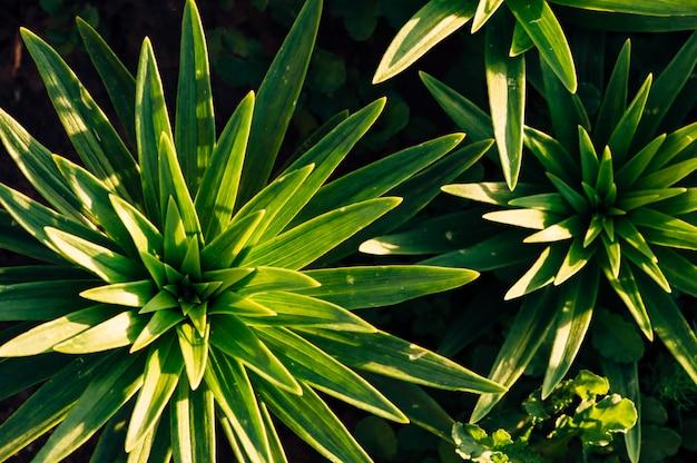 Grüne blätter von lilien in den strahlen der sonne. von oben betrachten. blätter in form von sternchen. Premium Fotos