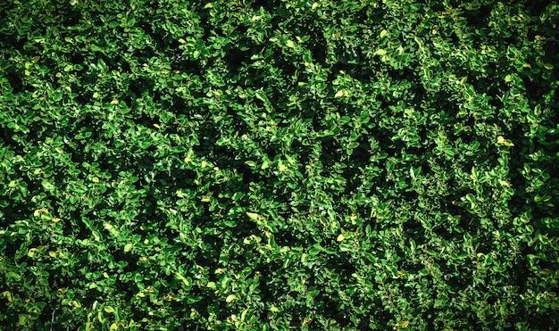 Grüne blattwand für hintergrund Premium Fotos