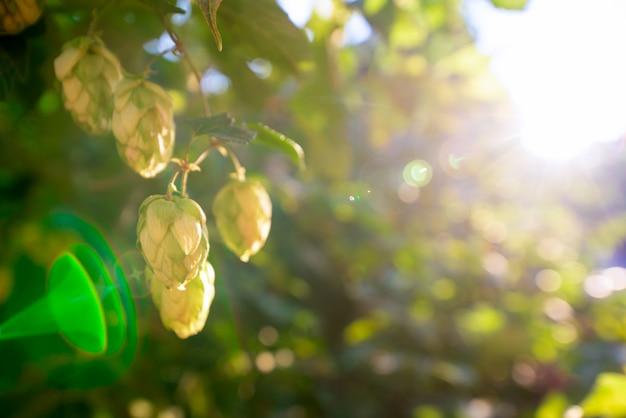 Grüne büsche von blühenden hopfen im sonnenlicht Premium Fotos