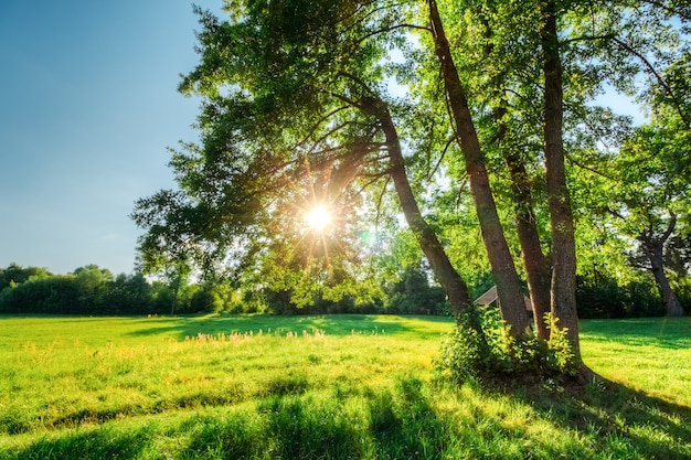 Grüne eiche mit sonne in zweigen mit laub Premium Fotos