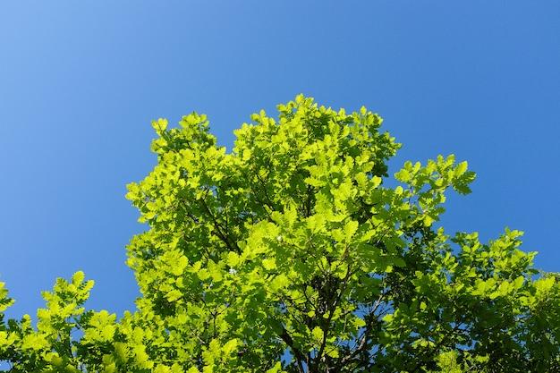 Grüne eichenblätter gegen den blauen himmel mit wolken Premium Fotos