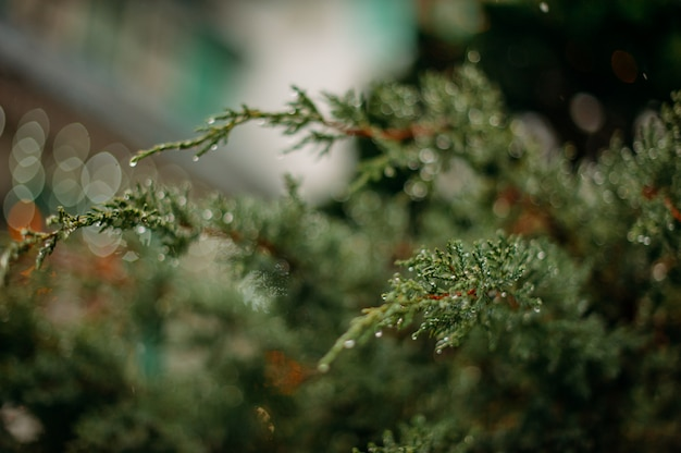 Grüne fichte Premium Fotos