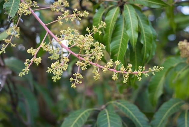 Grüne gelbe mangoblumen auf dem baum Premium Fotos