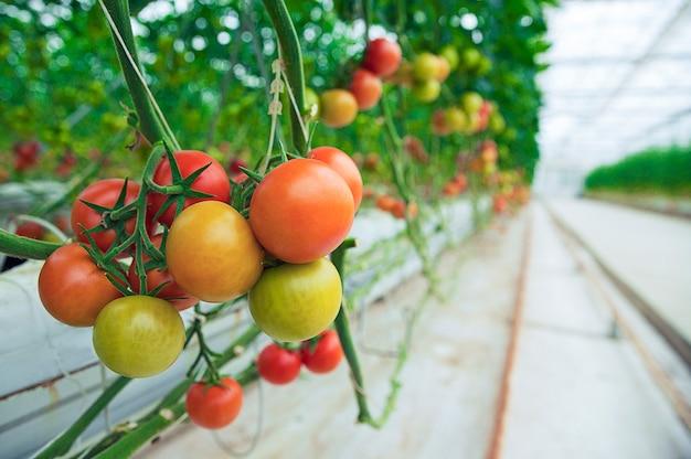 Grüne, gelbe und rote tomaten hingen von ihren anlagen innerhalb eines gewächshauses, nahe ansicht. Kostenlose Fotos