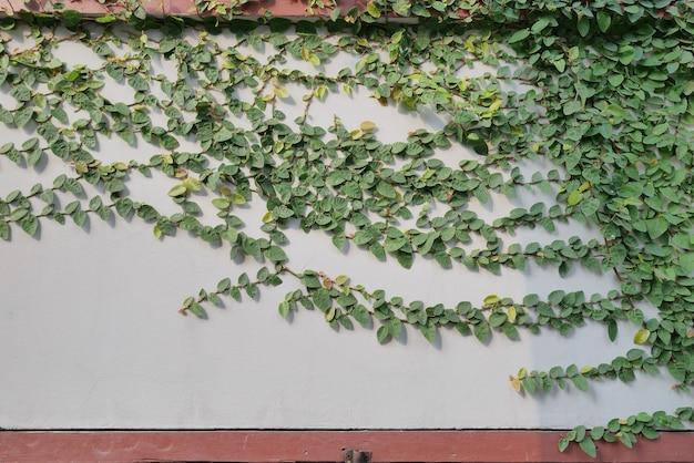 Grüne kriechpflanze an der wand Premium Fotos