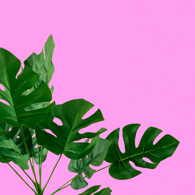Grüne künstliche monsterablätter auf rosa hintergrund Kostenlose Fotos