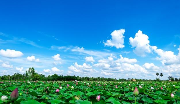 Grüne lotusfelder mit einem hintergrund des himmels und der weißen wolken. naturhintergrund Premium Fotos