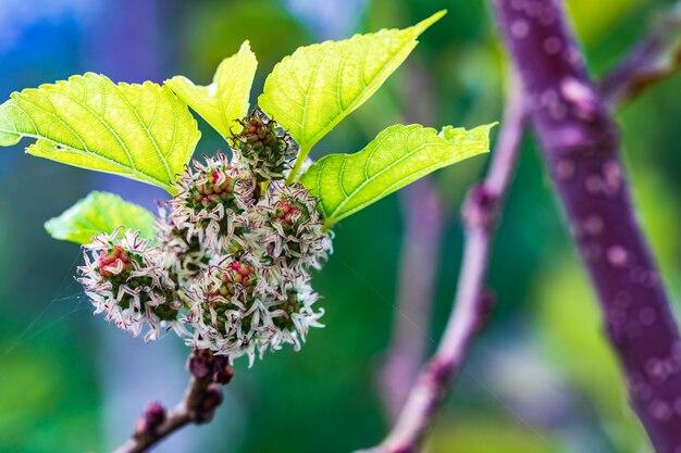 Grüne maulbeere im garten. Premium Fotos