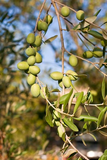 Grüne oliven Premium Fotos