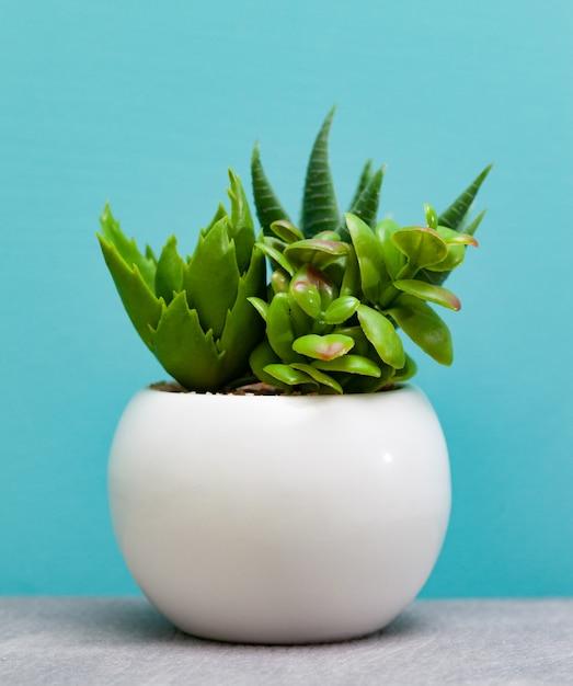 Grüne saftige pflanzen im topf der weißen blume. Premium Fotos