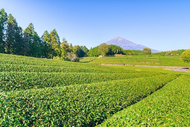 Grüne teeplantage in der nähe von mt. fuji. Premium Fotos