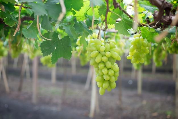 Grüne trauben, die an einem busch hängen Premium Fotos