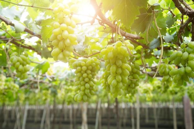 Grüne trauben hängen an einem busch, damnoen saduk, provinz ratchaburi. thailand Premium Fotos