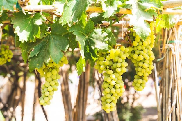 Grüne trauben-obstpflanzen draußen durch sonnenuntergang. Premium Fotos