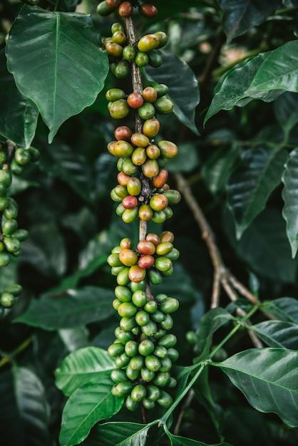 Grüne und rote arabicakaffeekirschen vom kaffeebaum im akha-dorf von maejantai auf dem hügel in chiangmai, thailand. Premium Fotos