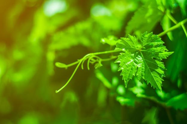 Grüne weinblätter in einem weinberg. Premium Fotos