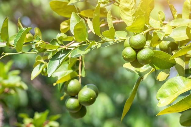 Grüne zitronenlimette auf baum im garten, frisches limettengrün auf dem baum mit hellem bokehhintergrund Premium Fotos