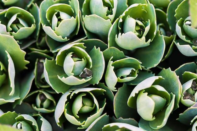 Grüner echeveria-busch, nahaufnahme. Kostenlose Fotos