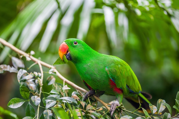 Grüner eclectus papagei, der auf zweig sitzt Premium Fotos