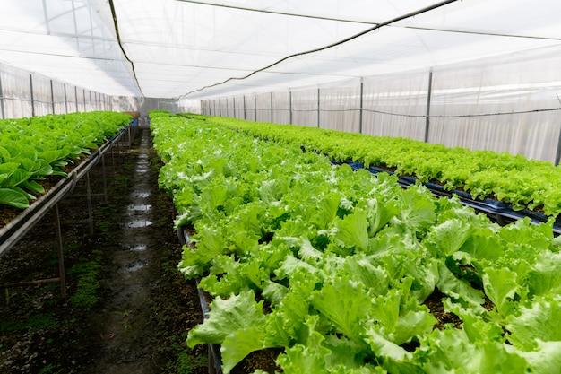 Grüner eichen-salat im bio-bauernhof bei lop buri, Premium Fotos