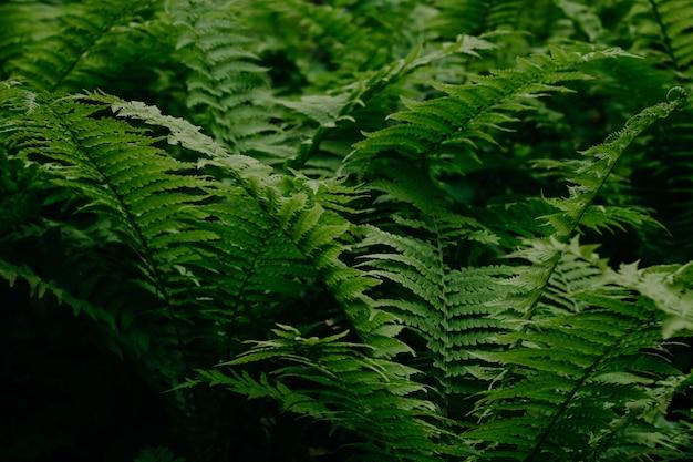 Grüner farn im wald. natürlicher hintergrund Premium Fotos