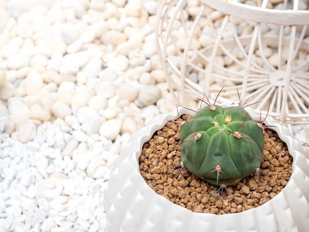 Grüner kaktus im topf. nahaufnahme kleiner kaktus, der in weißen keramiktöpfen wächst, draufsicht mit kopienraum. Premium Fotos