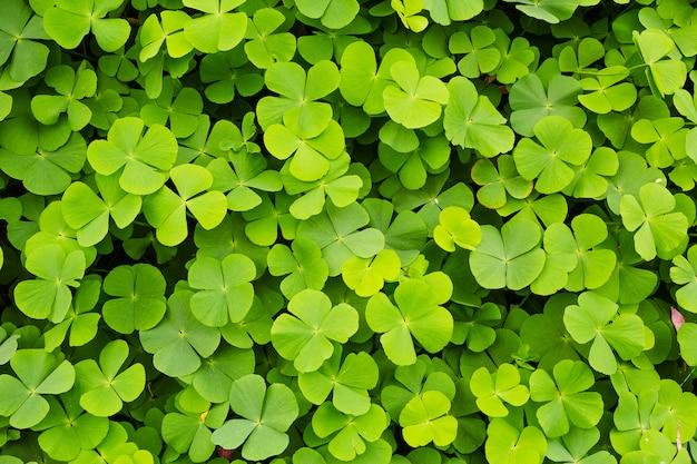Grüner kleeblatthintergrund Premium Fotos
