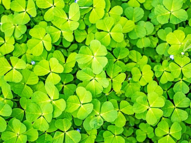 Grüner kleegrashintergrund des frühlinges Premium Fotos