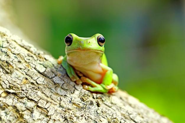 Grüner laubfrosch, dumpy frosch, papua grüner laubfrosch Premium Fotos