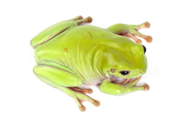 Grüner laubfrosch Kostenlose Fotos