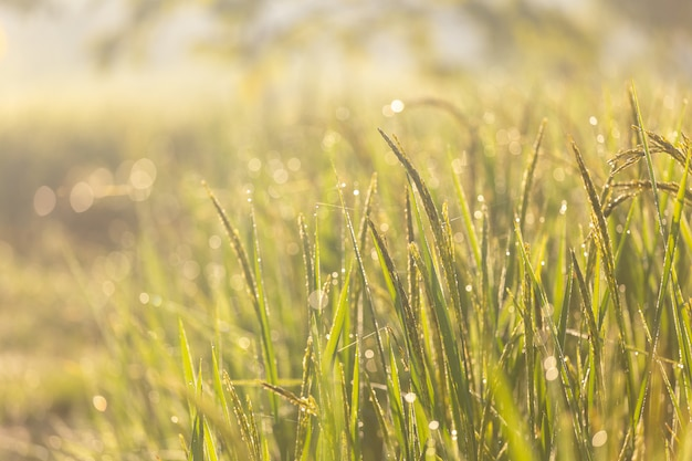 Grüner reis und sonnenlicht morgens Premium Fotos